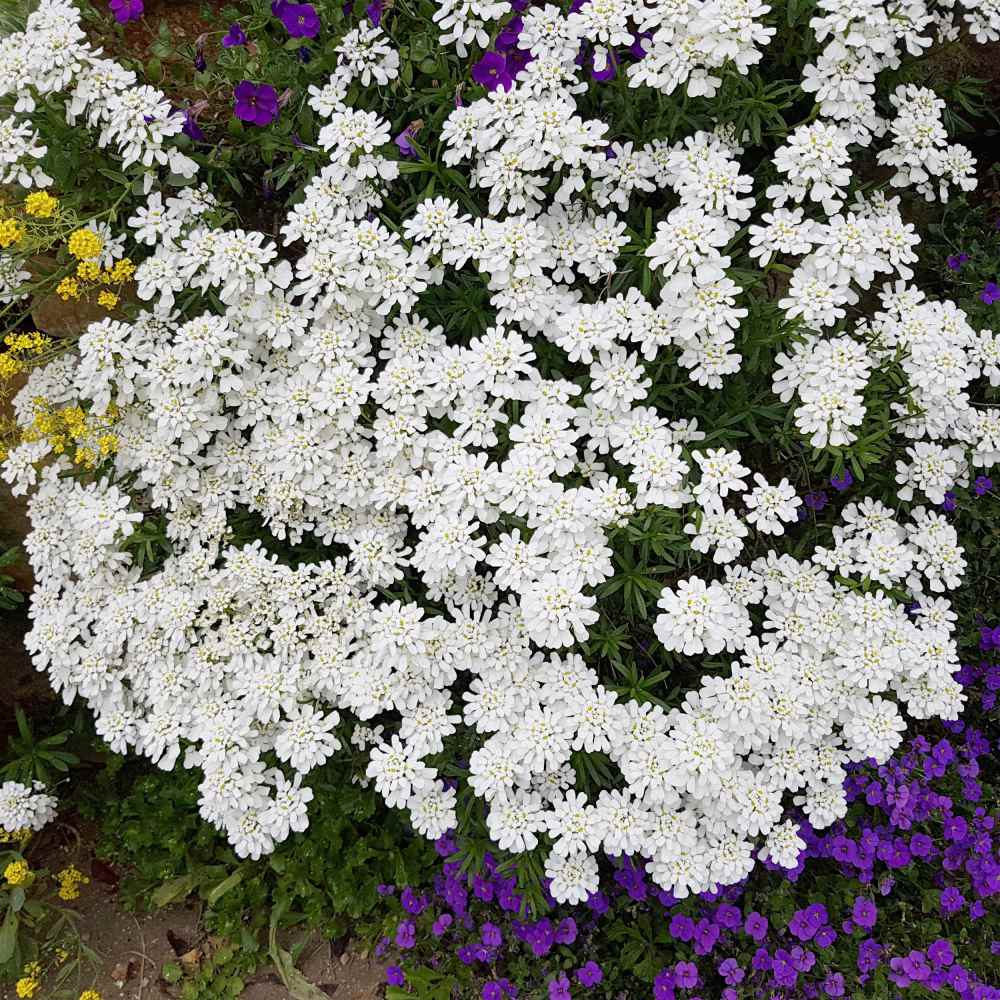 Candytuft Plants