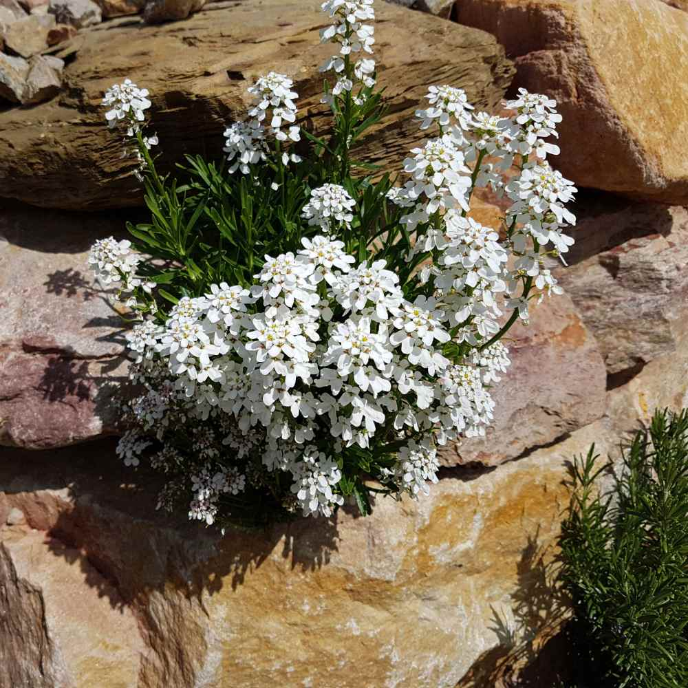 Iberis Candytuft Flowers