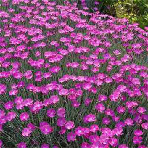 Dianthus seeds dianthus gratianopolitanus cheddar pink for Pink flower perennial ground cover
