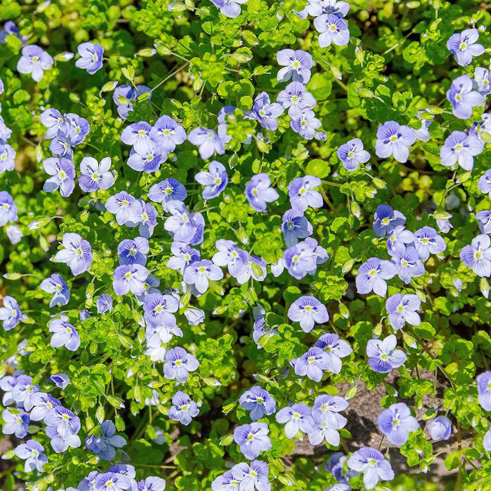 Speedwell Seeds Veronica Repens Creeping Speedwell Ground Cover Seed