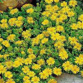 Ice plant seed delosperma ice plant yellow ground cover seeds ice plant congestum seed mightylinksfo