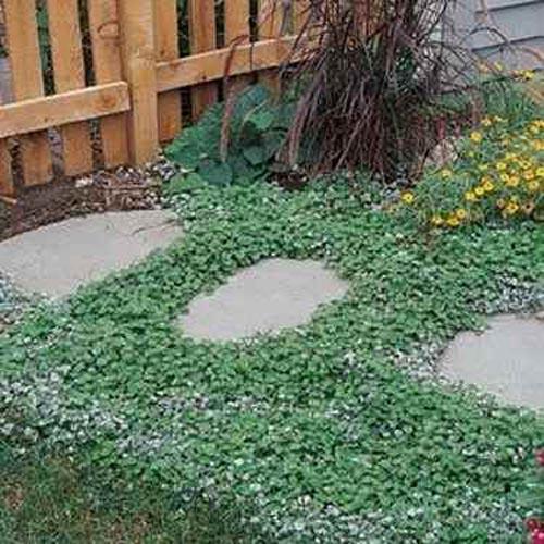 Dichondra seeds dichondra repens emerald falls ground for Tipi di prato