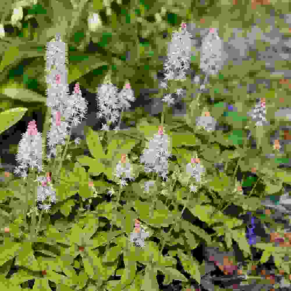 Foamflower Plants