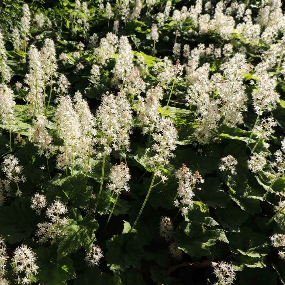 Tiarella Wherry Ground Cover Plant