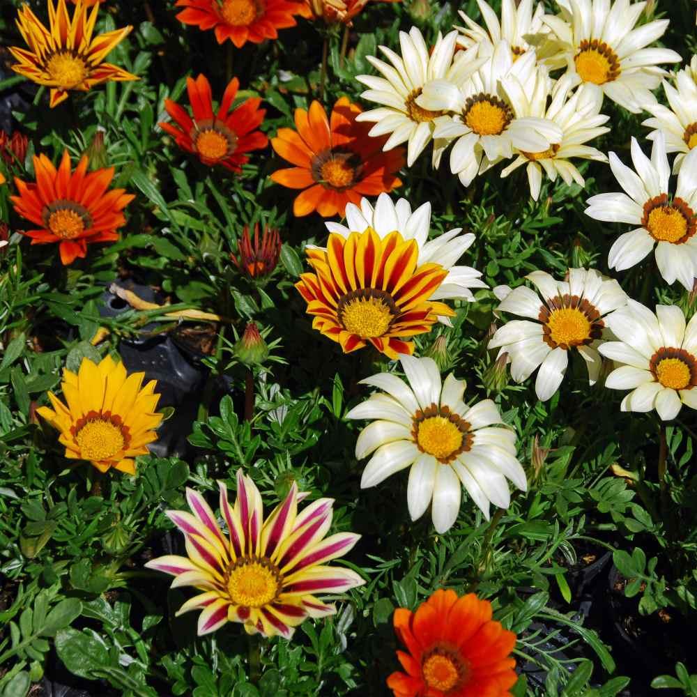 Gazania Seeds - Gazania Treasure Flower Ground Cover Seeds