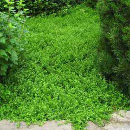 Herniaria glabra green carpet ground cover seeds rupturewort for Best low growing groundcover for full sun
