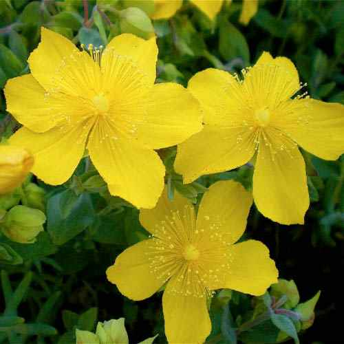Hypericum Ground Cover Seed