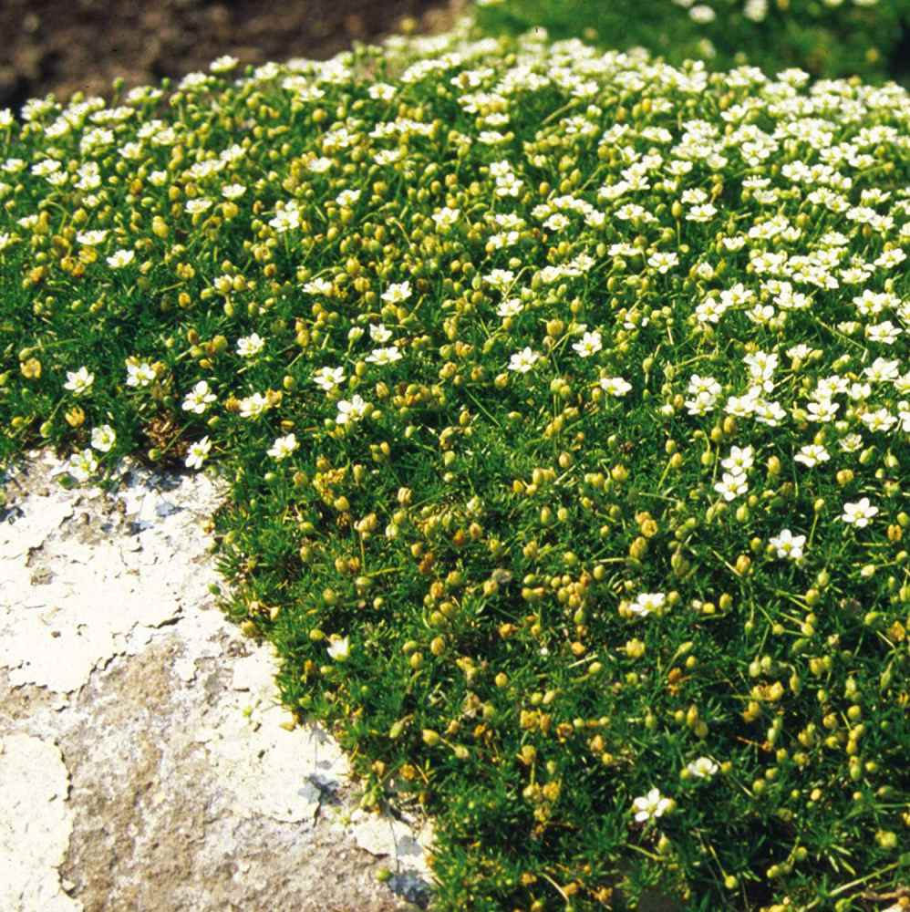 irish moss groundcover 2 inches tall