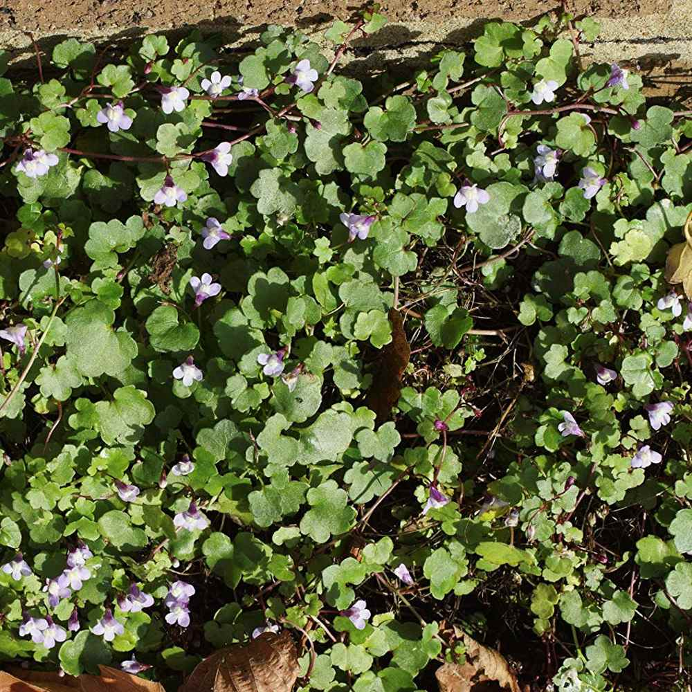 Kenilworth Ivy Seeds Cymbalaria Kenilworth Flowering Ivy