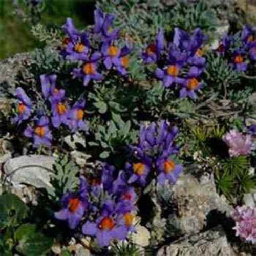 Linaria Groundcover Seed