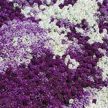 Alyssum seeds ground cover seed mix for Best low growing groundcover for full sun