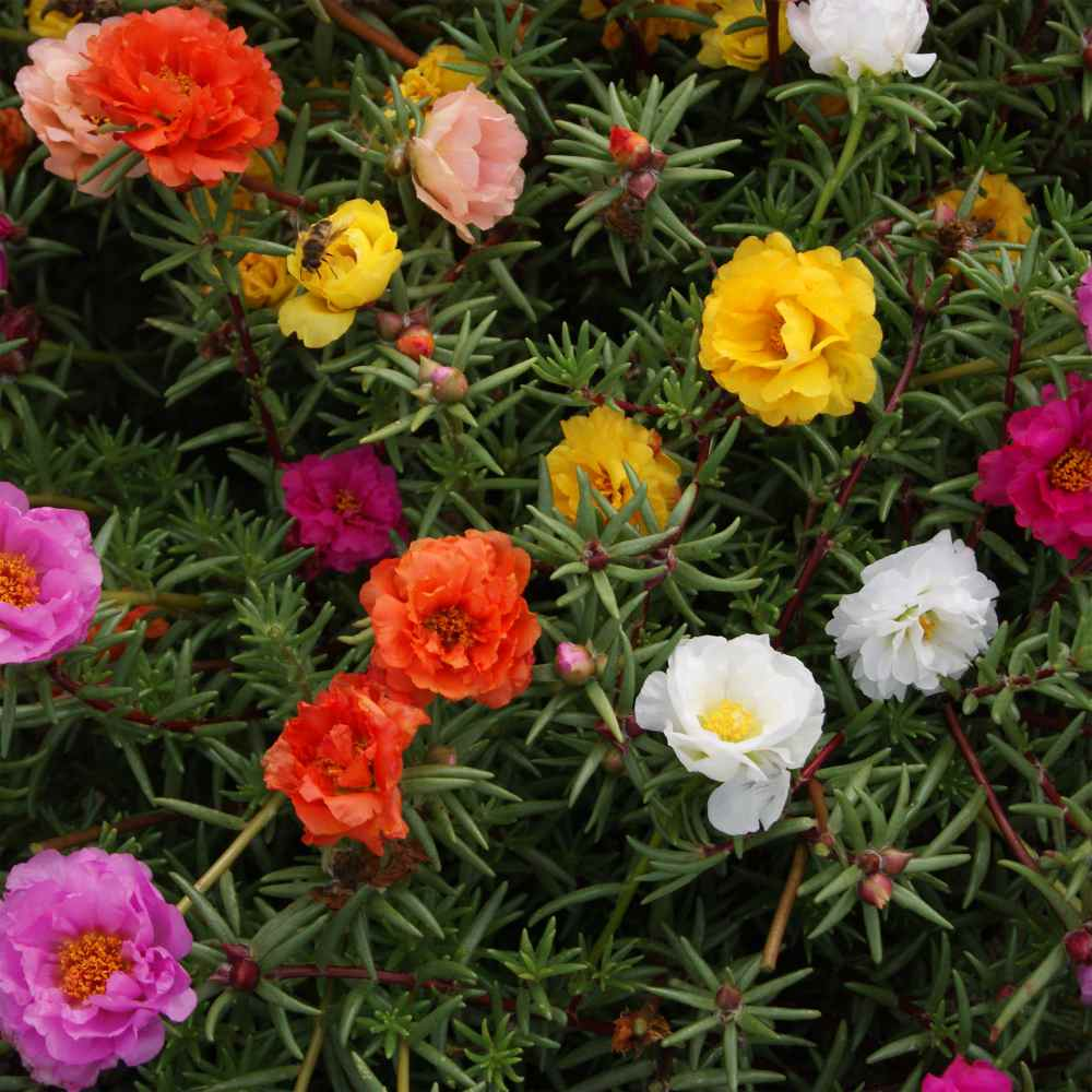 Moss Rose Seeds Portulaca Ground Cover Seed Mix