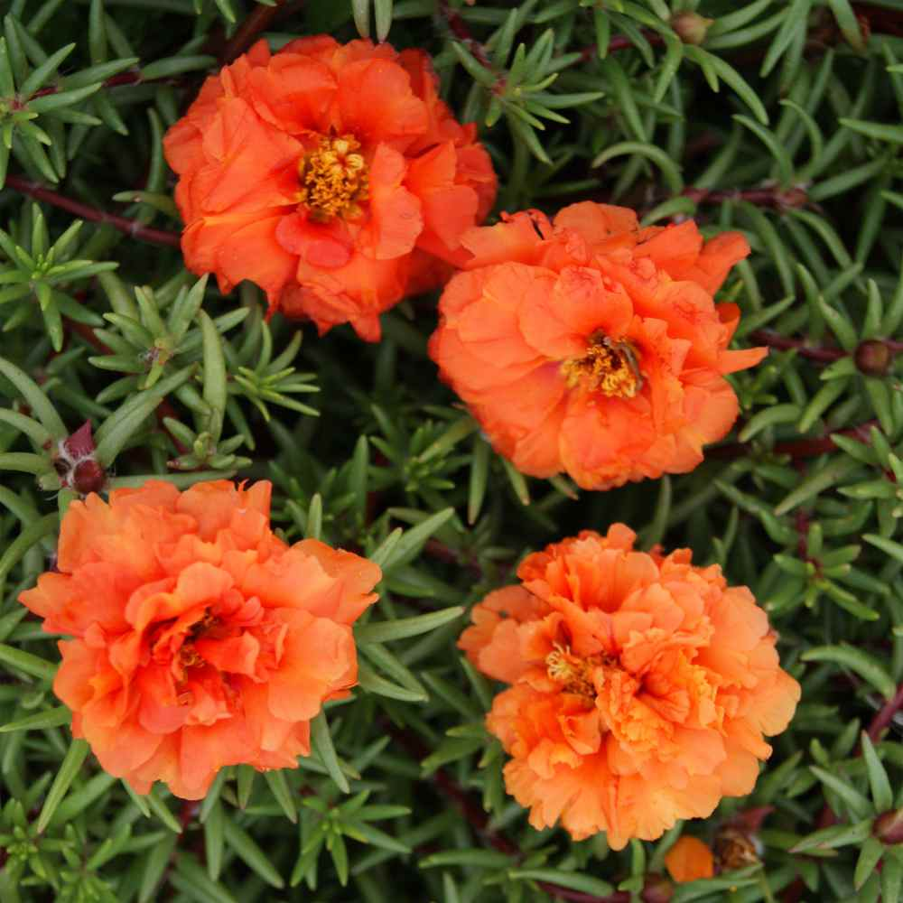 Orange Moss Rose Seed - Orange Portulaca Ground Cover Seeds