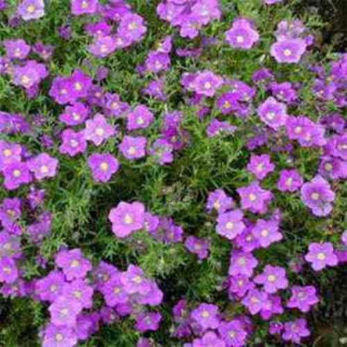 nierembergia seeds  purple robe cup flower ground cover seed, Beautiful flower