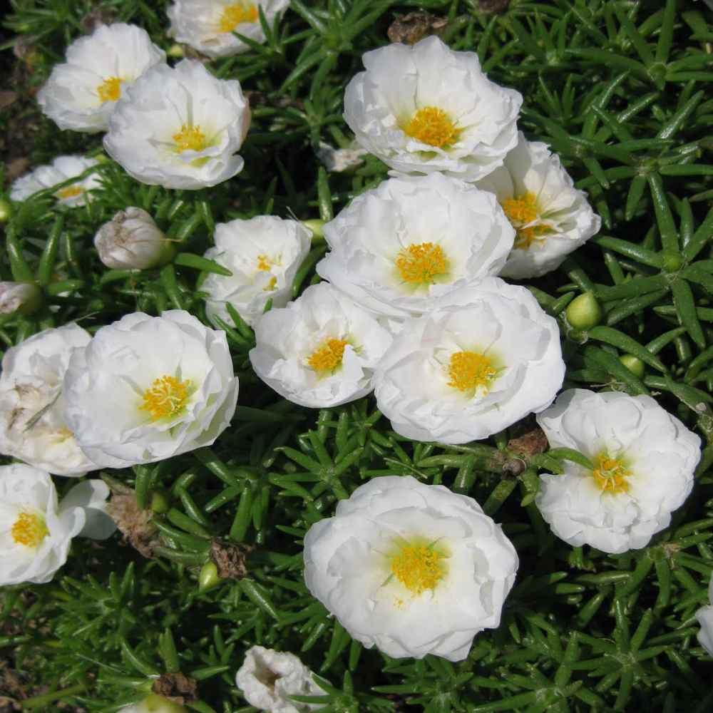 Moss Rose Seed White Portulaca Grandiflora Ground Cover Seeds