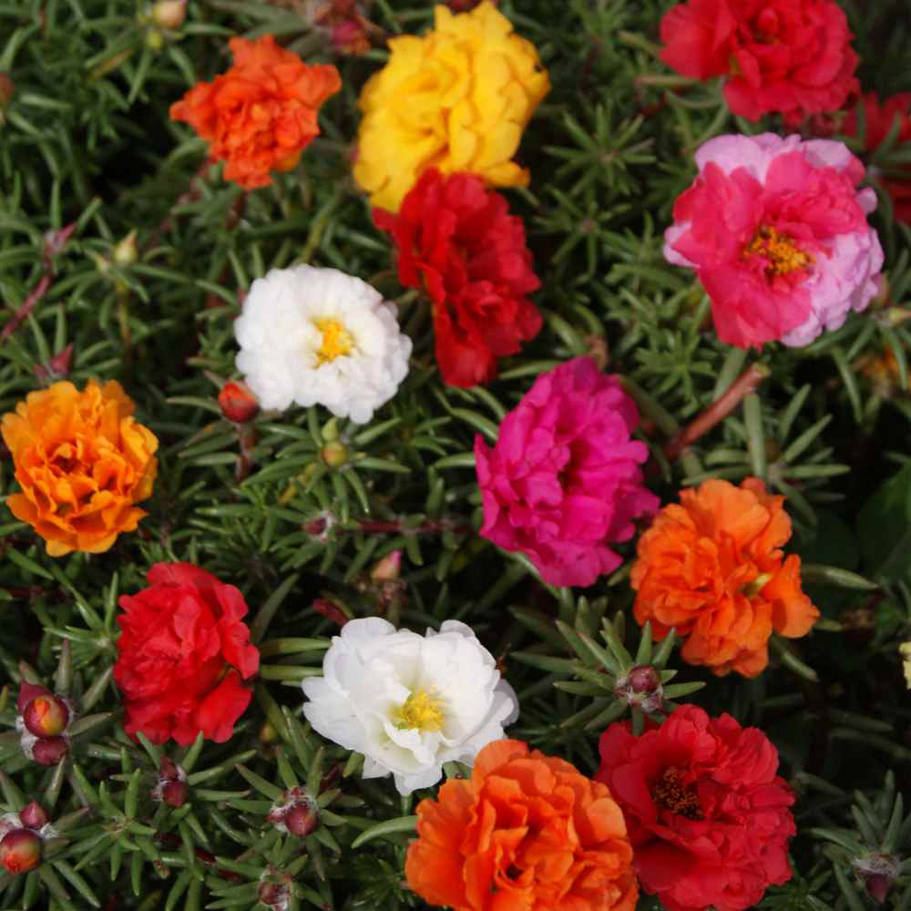 moss rose seeds  portulaca ground cover seed mix, Natural flower