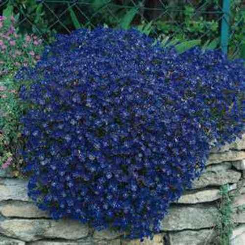 Cascading Blue Rock Cress Seeds Aubrieta Hybrida Ground Cover Plants