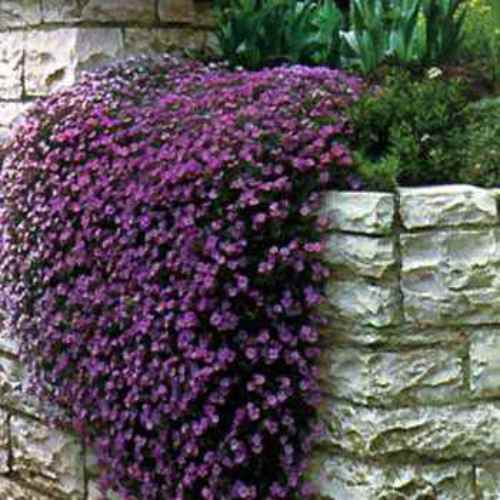 Aubrieta Seeds Cascade Purple