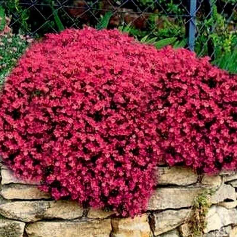 Aubrieta Rock Cress Seed Ground Cover Seeds
