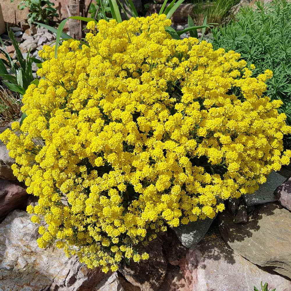 sedum acre seeds  yellow stonecrop ground cover seed, Natural flower