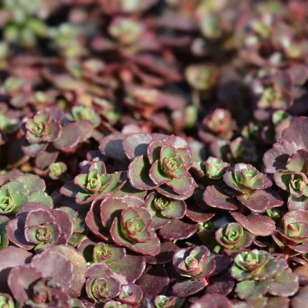 Red Stonecrop Ground Cover Seeds
