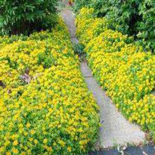 Sedum Ellacombianum Seeds Yellow Stonecrop Ground Cover Seed