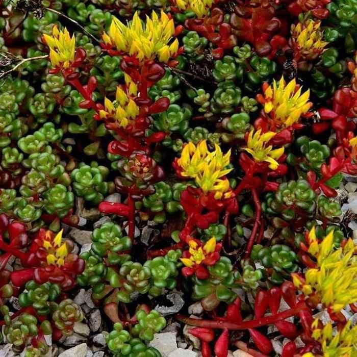 sedum oreganum seed  oregon stonecrop ground cover seeds, Natural flower