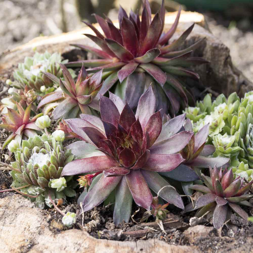 Sempervivum Seed Hens And Chicks Ground Cover Seeds