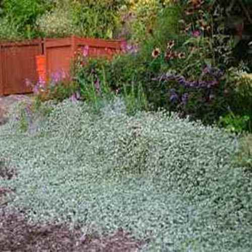 Dichondra Seeds Argentea Silver Falls Ground