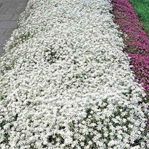 Snow In Summer Ground cover
