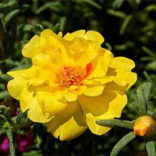 Yellow Moss Rose