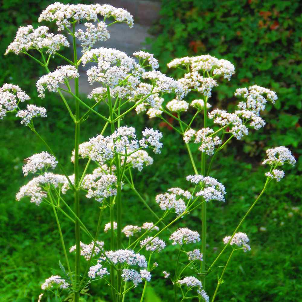 Booming Anise