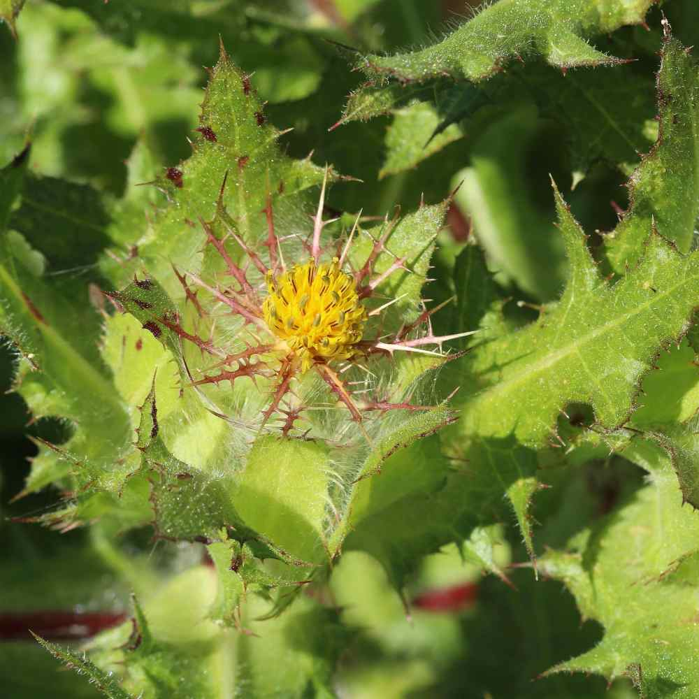 Blessed Thistle Herb Plant