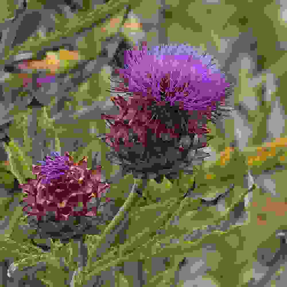Cardoon Plants