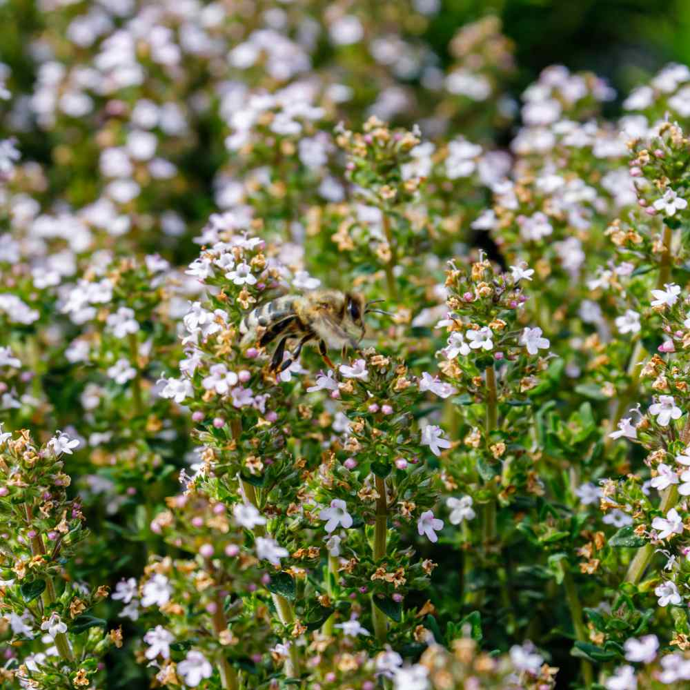Thyme Herb Seed