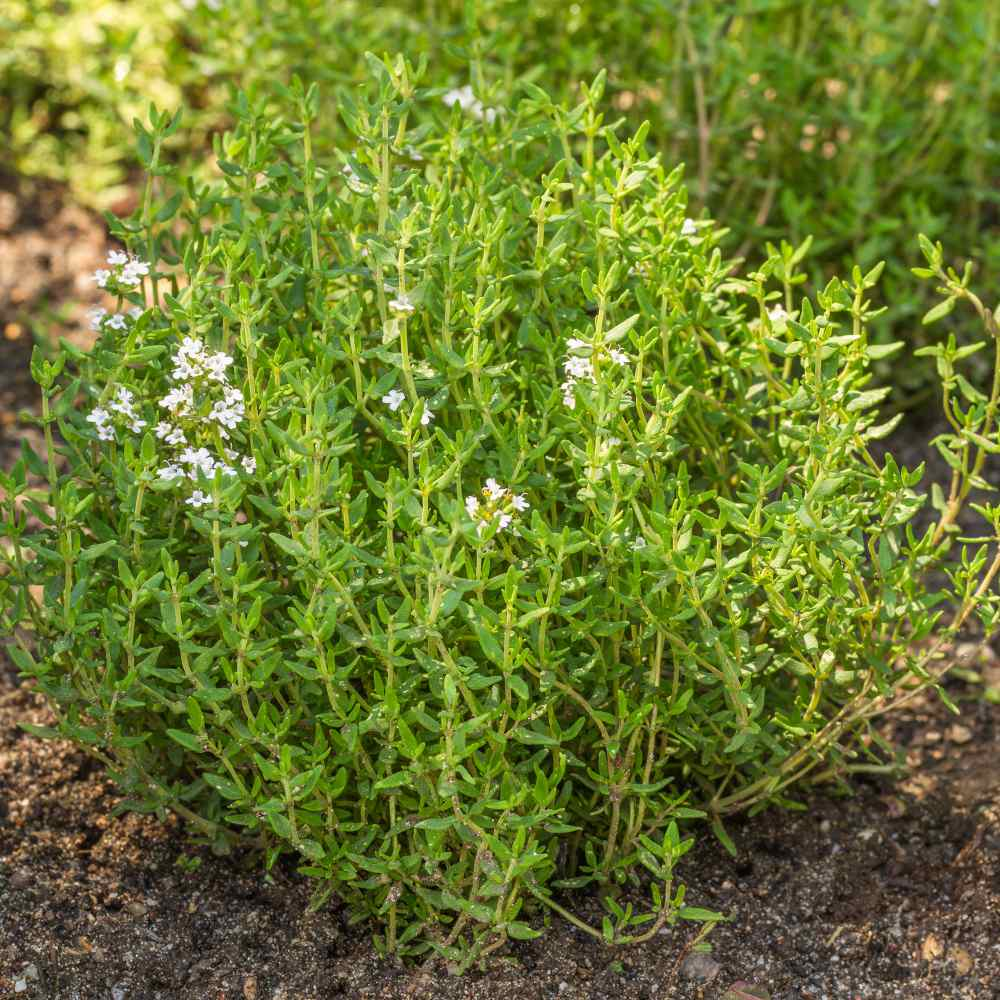 Garden Thyme Herb Seed