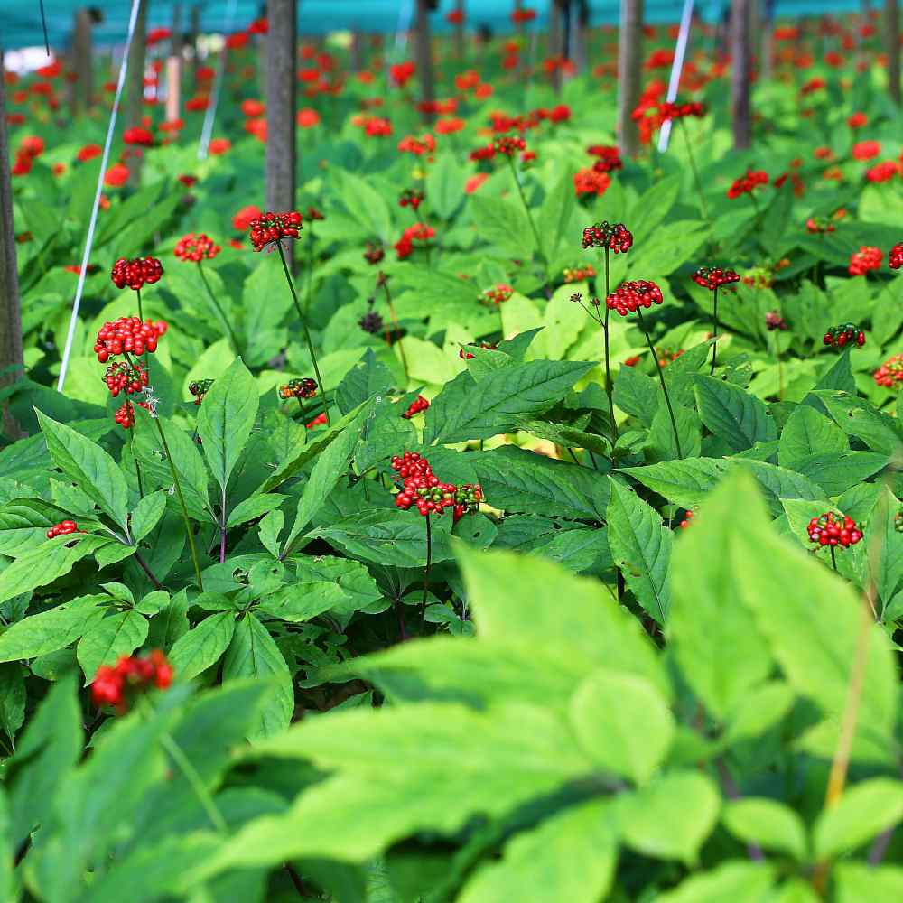 Panax Ginseng Herb Seeds Medicinal Plants