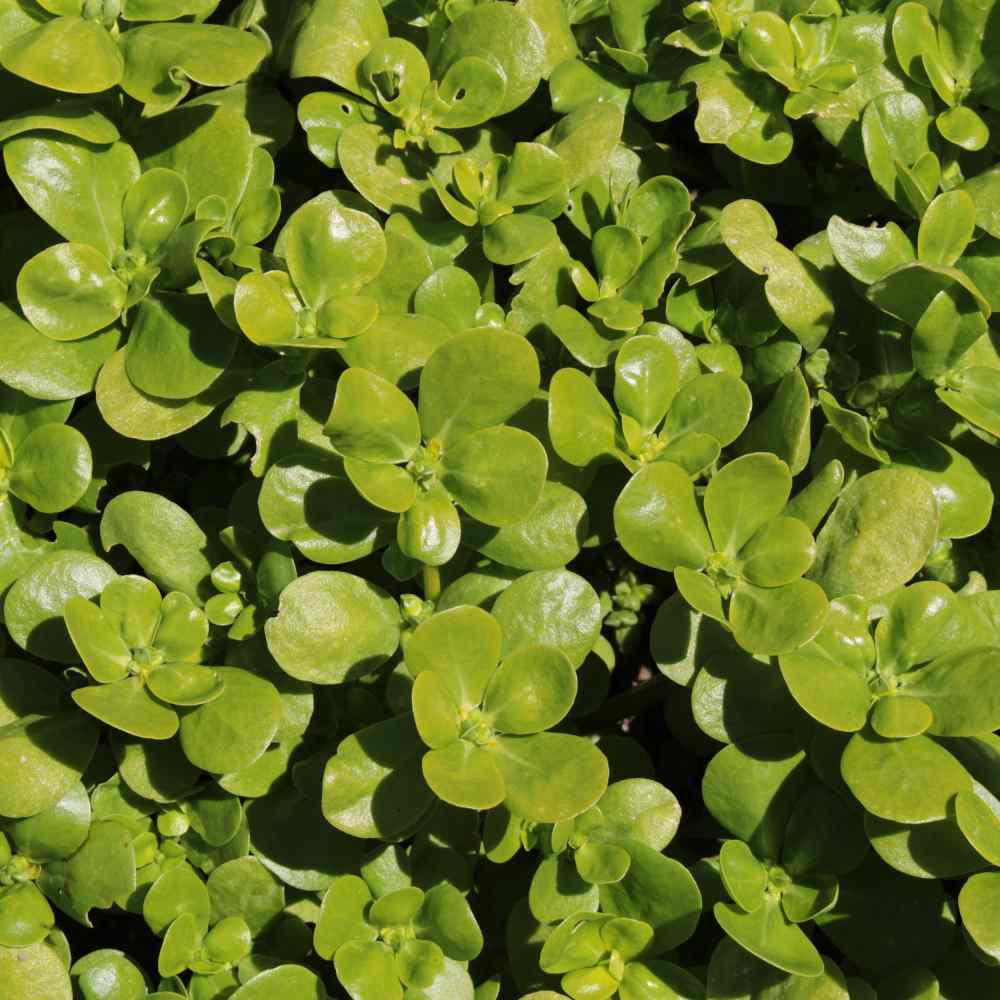 Fascination About When To Plant Purslane Seeds