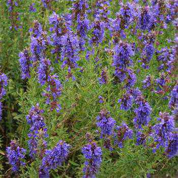Hyssop Seed Hyssopus Officinalis Herb Seeds