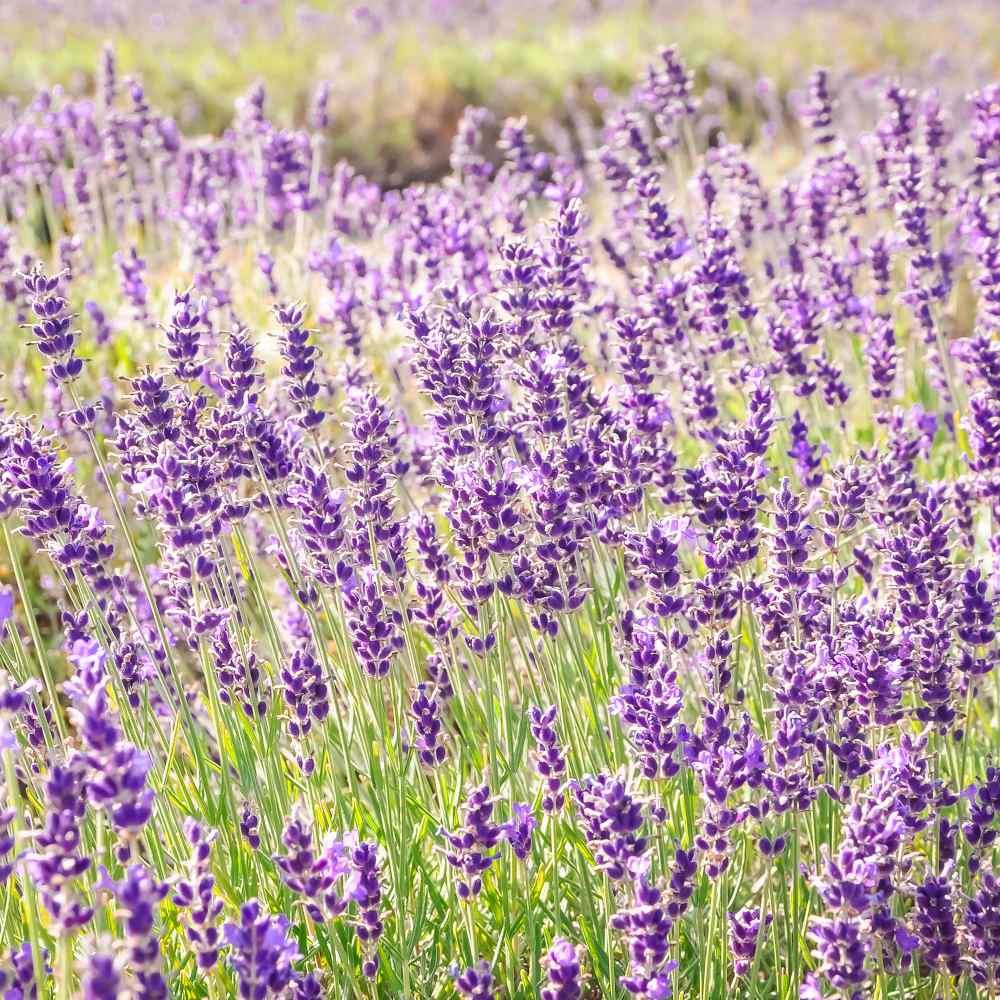5,000 Bulk Seeds ENGLISH LAVENDER Lavandula Angustifolia