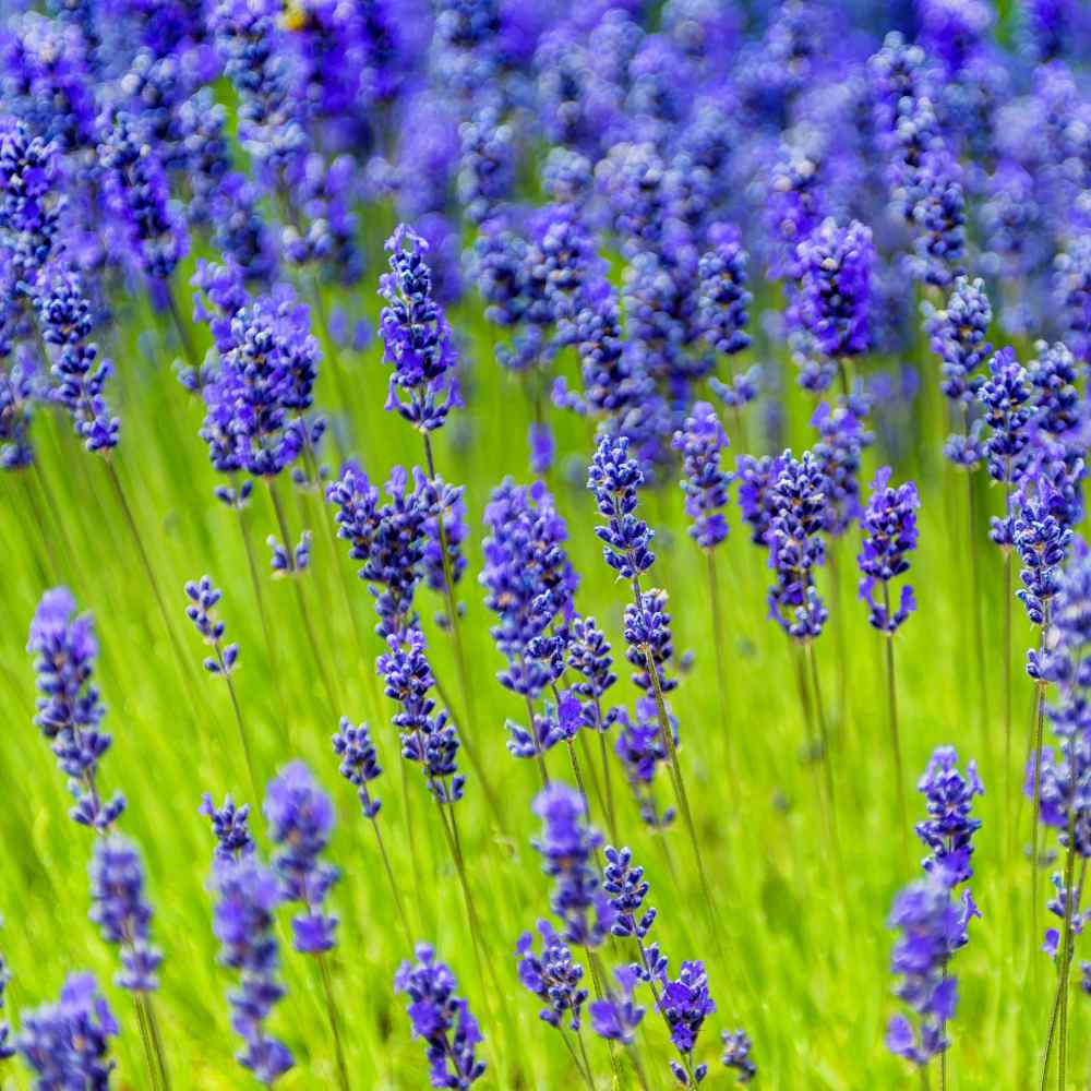 Lavender Seed Munstead English Lavender Herb Seeds