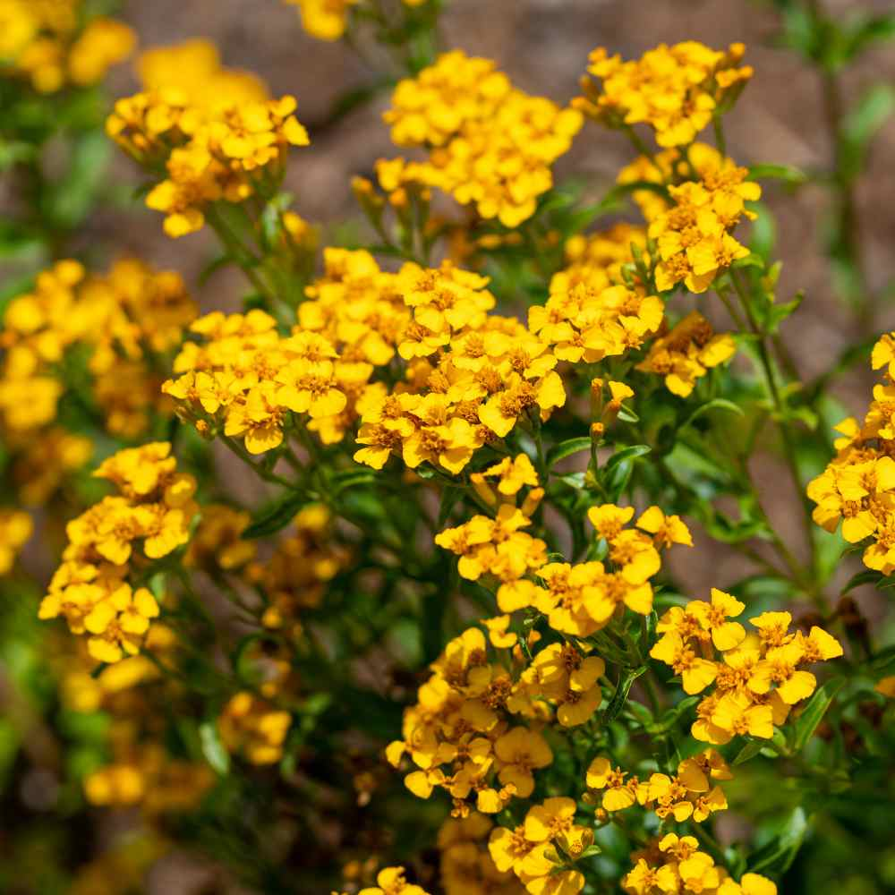 Mexican mint seeds mexican tarragon herb seed in the herb garden it is highly ornamental with a profusion of small yellow flowers that bloom in late summer mightylinksfo