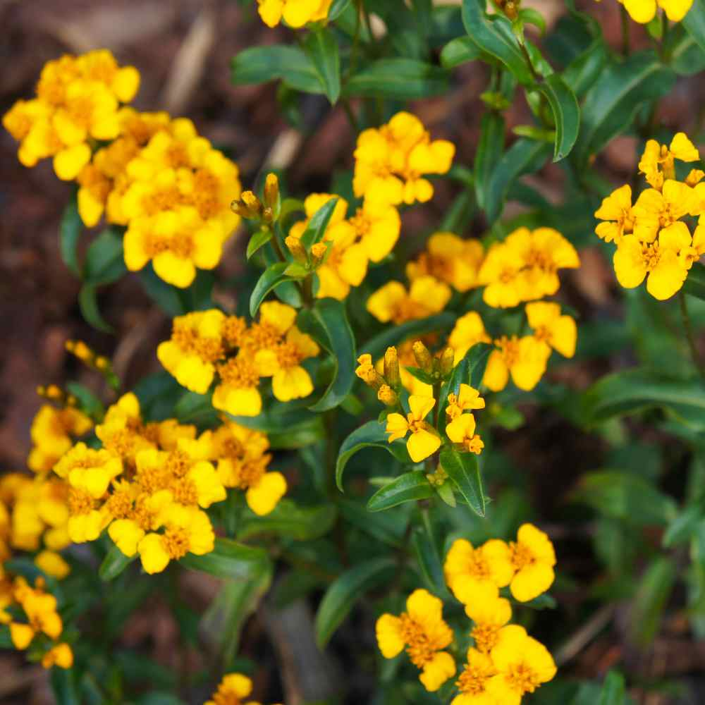 Tagetes Lucida Yellow Flowers