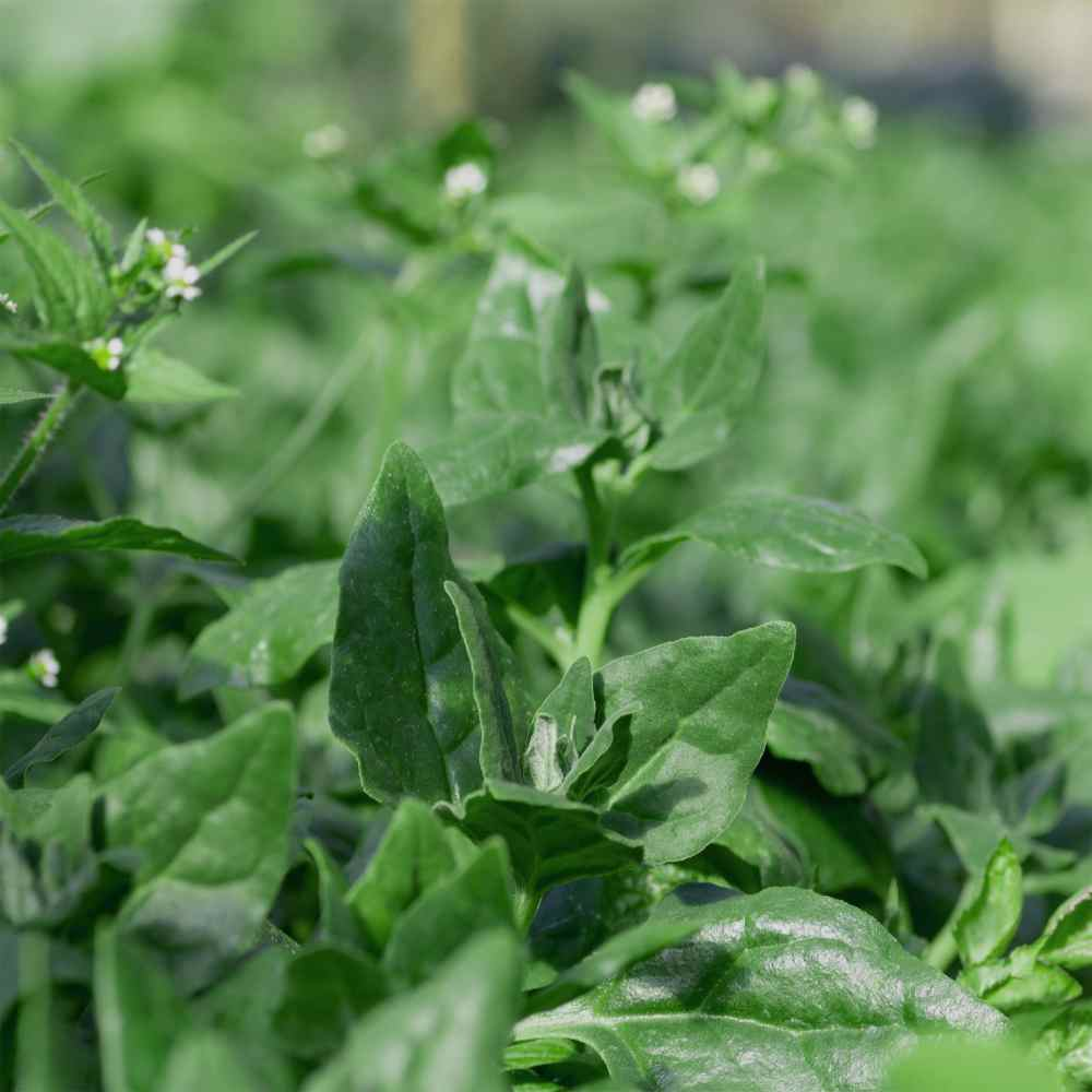 New Zealand Spinach Plant