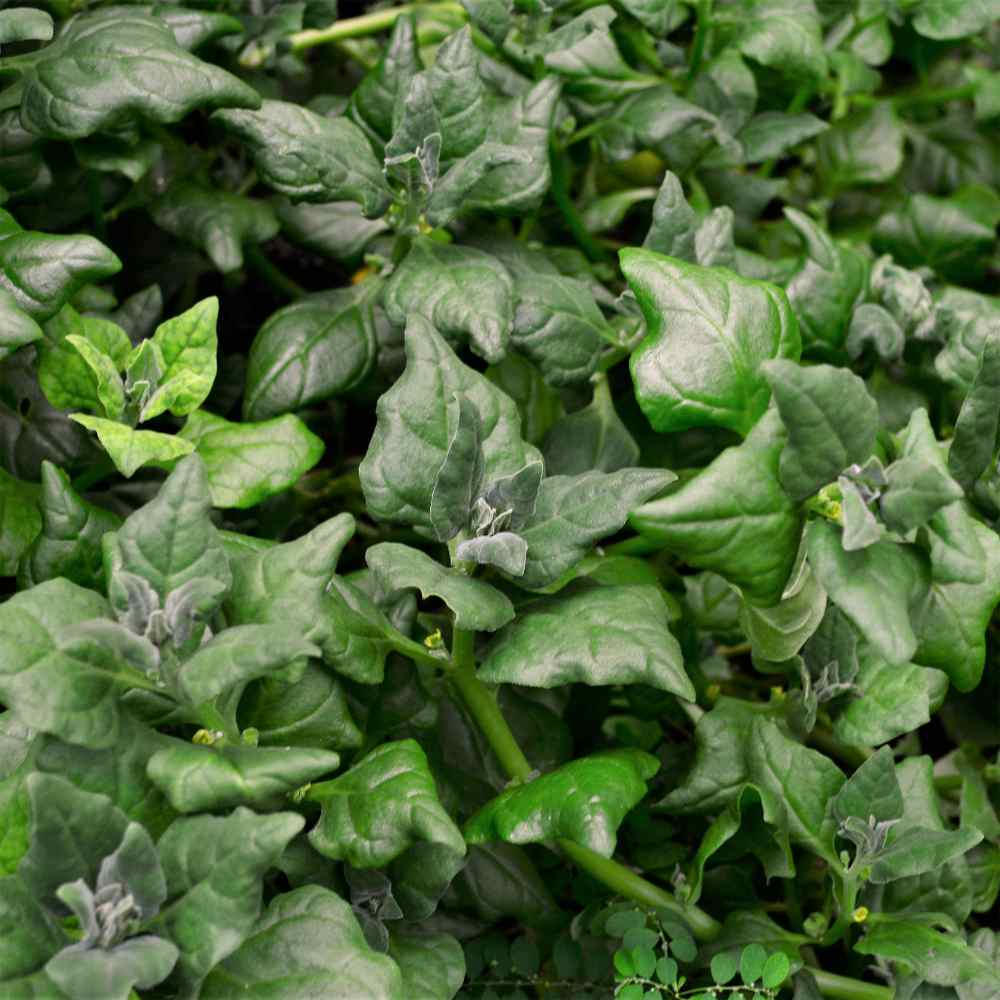 New Zealand Spinach Herb