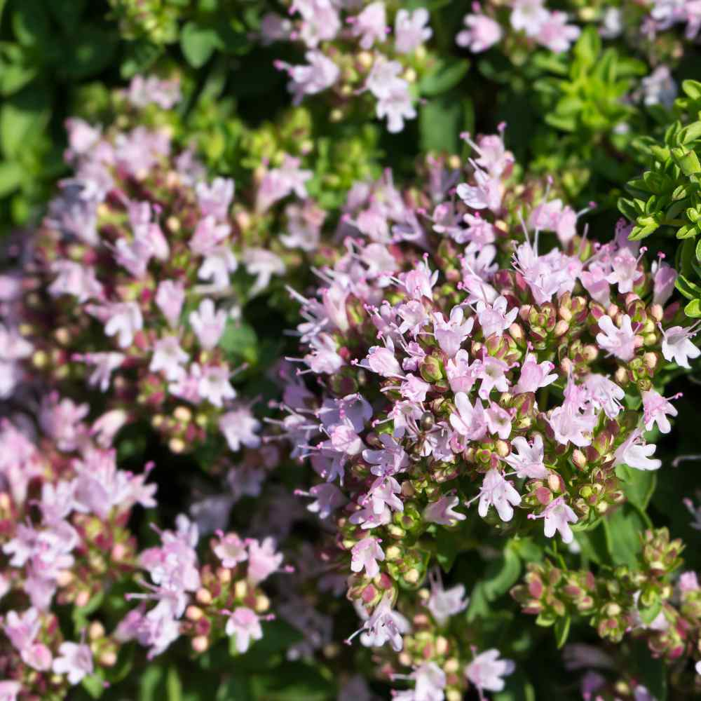 Oregano Herb Seed