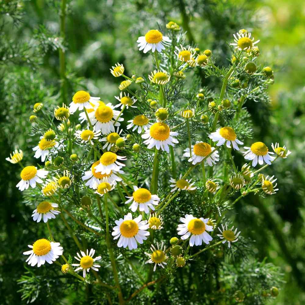 Chamomile Seed - Roman Chamomile Herb Seeds