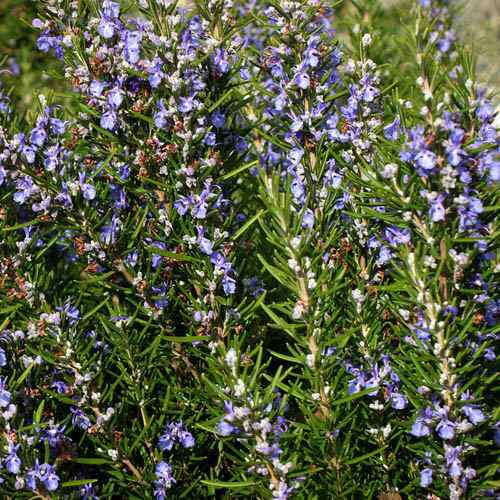 how to grow rosemary from seed