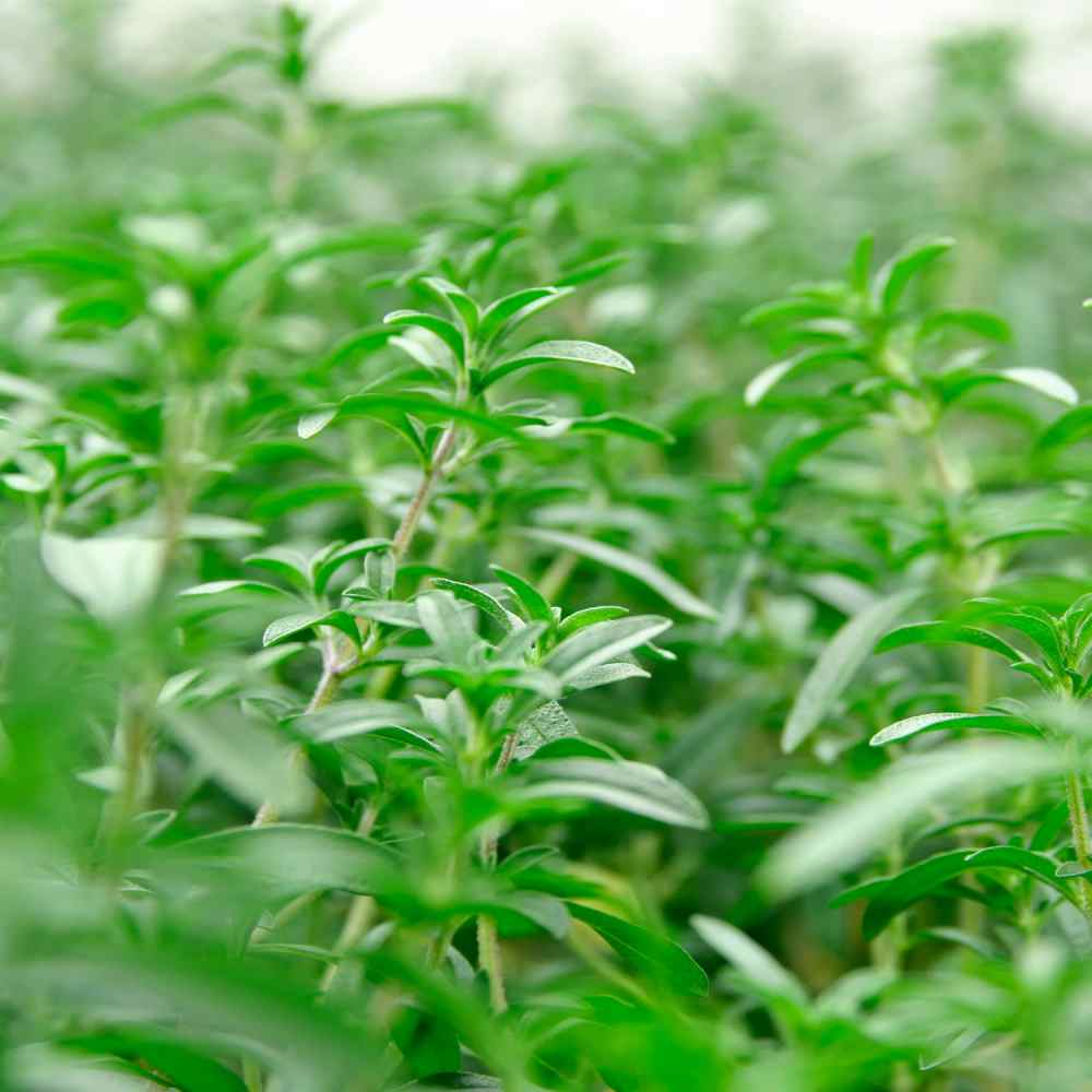 Summer Savory Herb Seed