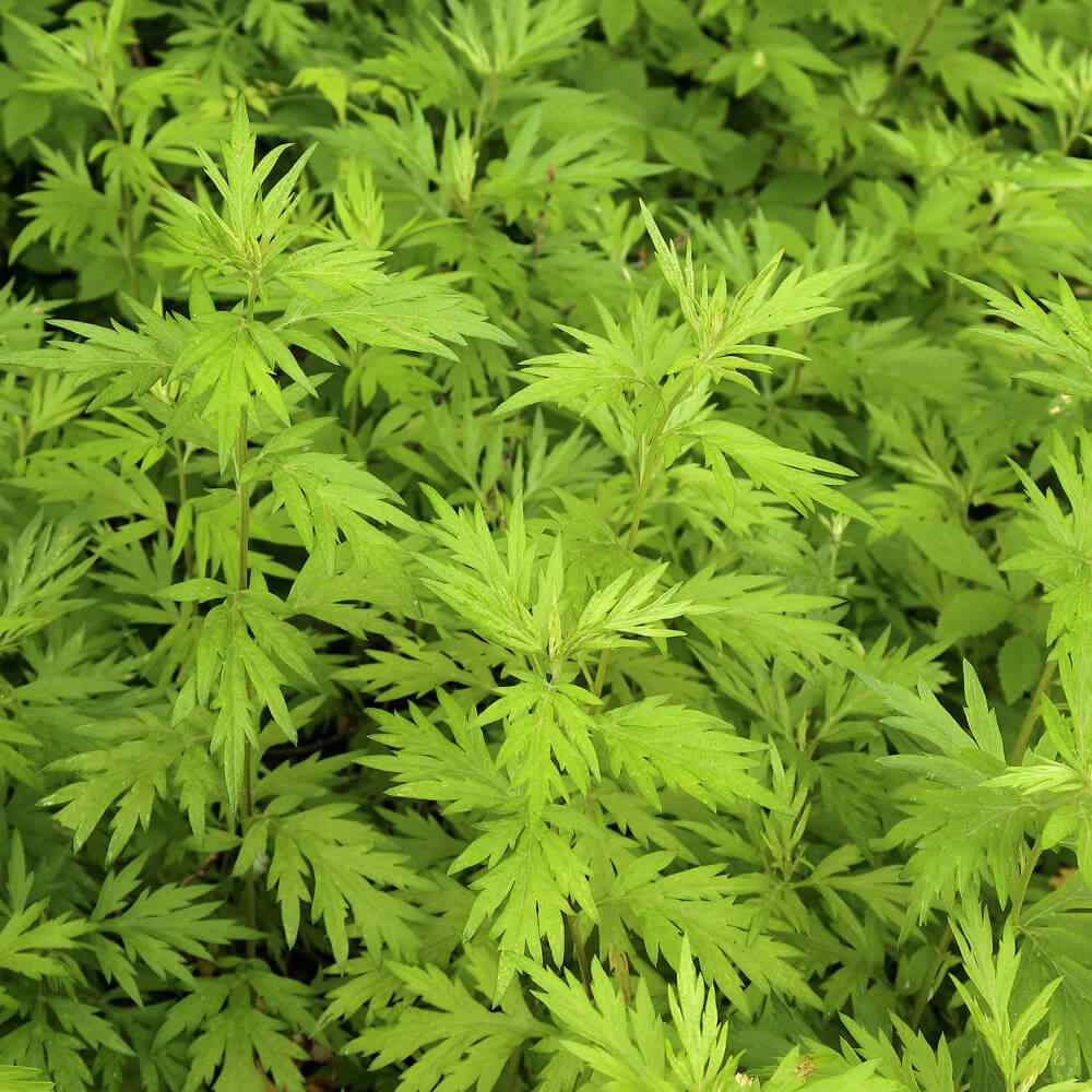 Artemisia Vulgaris 2000 Seeds Fresh Mugwort,